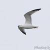 Ring-billed Gull <br /> Riverlands Migratory Bird Sanctuary