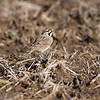Horned Lark  <br /> Riverlands Migratory Bird Sanctuary