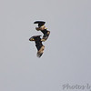 Bald Eagles <br /> Riverlands Migratory Bird Sanctuary