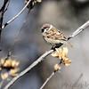 Eurasian Tree Sparrow <br /> Hazelwood Missouri