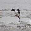 Common Goldeneye <br /> Mississippi River <br /> Riverlands Migratory Bird Sanctuary
