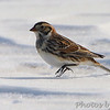 Lapland Longspur <br /> Columbia Bottom Conservation Area