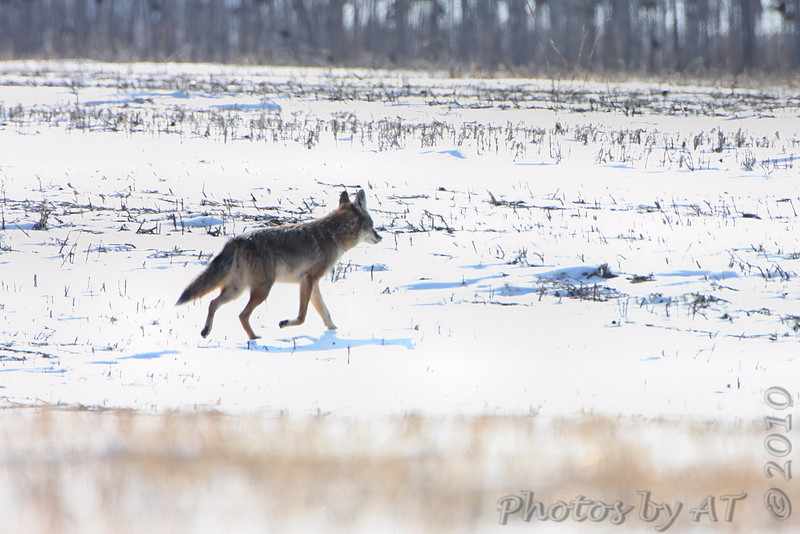 Coyote <br /> Columbia Bottom Conservation Area