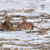 Northern Bobwhite <br /> Columbia Bottom Conservation Area