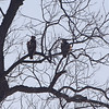 Red-tailed Hawks <br /> Riverlands Migratory Bird Sanctuary