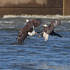 Bald Eagle <br /> below Melvin Price Dam <br /> Riverlands Migratory Bird Sanctuary