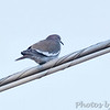 White-winged Dove <br /> On wire outside Alamo Inn <br /> Texas