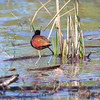 Northern Jacana <br /> Choke Canyon State Park <br /> Texas