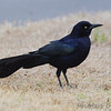 Boat-tailed Grackle <br /> Texas