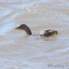 Pied-billed Grebe <br /> Choke Canyon State Park <br /> Texas