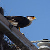 Crested Caracara <br /> Choke Canyon State Park<br />  Texas