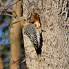 Golden-fronted Woodpecker <br /> Next door to the Alamo Inn <br /> Rio Grande Valley Texas