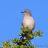 Northern Mockingbird  <br /> Santa Ana National Wildlife Refuge <br /> Rio Grande Valley Texas
