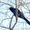 Boat-tailed Grackle <br /> Santa Ana National Wildlife Refuge <br /> Rio Grande Valley Texas