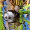 Least Grebe <br /> Santa Ana National Wildlife Refuge <br /> Rio Grande Valley Texas