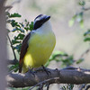 Great Kiskadee <br /> Santa Ana National Wildlife Refuge <br /> Rio Grande Valley Texas