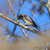 Ladder-backed Woodpecker <br /> Santa Ana National Wildlife Refuge <br /> Rio Grande Valley Texas