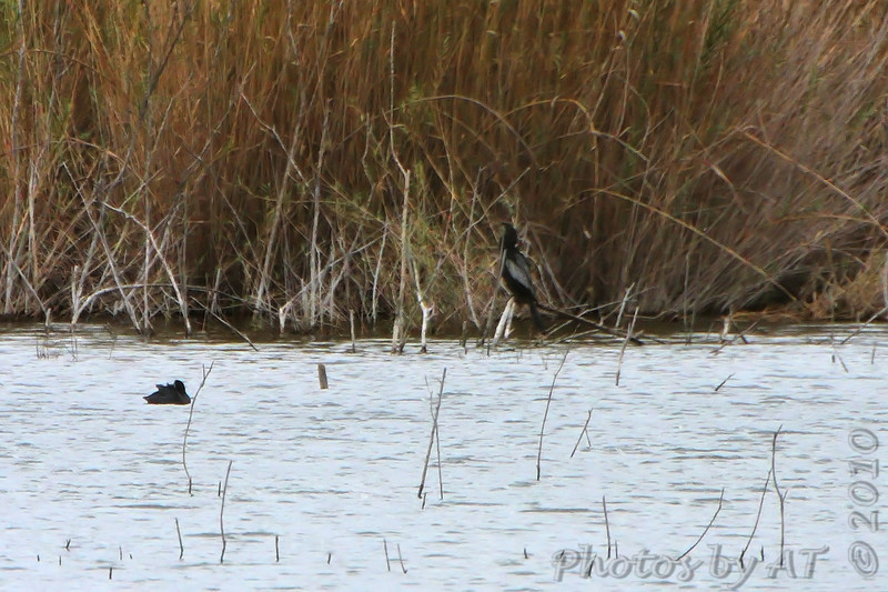 Anhinga from 450 yards <br /> Bentsen State Park <br /> Rio Grande Valley Texas