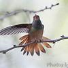 Buff-bellied Hummingbird <br /> Bentsen State Park <br /> Rio Grande Valley Texas