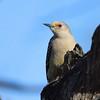 Golden-fronted Woodpecker <br /> Bentsen State Park <br /> Rio Grande Valley Texas