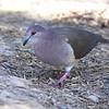 White-tipped Dove <br /> Bentsen State Park <br /> Rio Grande Valley Texas