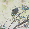 Ruby-crowned Kinglet <br /> Bentsen State Park <br /> Rio Grande Valley Texas