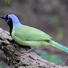 Green Jay <br /> Laguna Atascosa National Wildlife Refuge