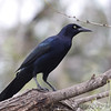 Great-tailed Grackle <br /> Laguna Atascosa National Wildlife Refuge