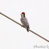 Ladder-backed Woodpecker <br /> Laguna Atascosa National Wildlife Refuge