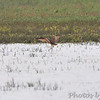 Long-billed Curlew <br /> Laguna Atascosa National Wildlife Refuge