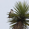 White-tailed Hawk <br /> Laguna Atascosa National Wildlife Refuge