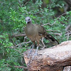 Plain Chachalaca <br /> Laguna Atascosa National Wildlife Refuge
