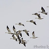Snow Geese  <br /> Laguna Atascosa National Wildlife Refuge
