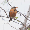 American Robin <br /> Laguna Atascosa National Wildlife Refuge