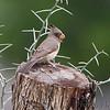 Pyrrhuloxia <br /> Falcon County Park <br /> Rio Grande Valley Texas