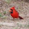 Northern Cardinal <br /> Falcon County Park <br /> Rio Grande Valley Texas