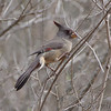 Pyrrhuloxia (female)<br /> Falcon County Park <br /> Rio Grande Valley Texas