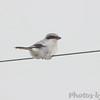 Loggerhead Shrike  <br /> below Falcon Dam <br /> Rio Grande Valley Texas