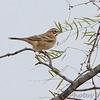 Lark Sparrow <br /> Falcon County Park <br /> Rio Grande Valley Texas