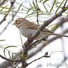 Sparrow sp <br /> Falcon County Park <br /> Rio Grande Valley Texas