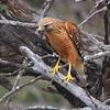 Red-shouldered Hawk <br /> Salineno <br /> Lower Rio Grande Valley Texas