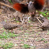 Inca Doves <br /> Salineno <br /> Rio Grande Valley Texas