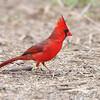 Northern Cardinal <br /> Salineno <br /> Rio Grande Valley Texas