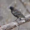 ? unknown - odd Red-winged Blackbird ?<br /> Salineno <br /> Rio Grande Valley Texas