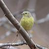Orange-crowned Warbler <br /> Salineno <br /> Rio Grande Valley Texas