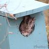 Eastern Screech Owl <br /> Salineno <br /> Rio Grande Valley Texas