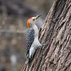 Golden-fronted Woodpecker <br /> Salineno <br /> Rio Grande Valley Texas