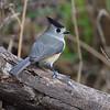 Black-crested Titmouse <br /> Salineno <br /> Rio Grande Valley Texas