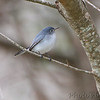 Blue-gray Gnatcatcher <br /> Anzalduas County Park <br /> Rio Grande Valley Texas