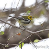Black-throated Green Warbler <br /> Anzalduas County Park <br /> Rio Grande Valley Texas